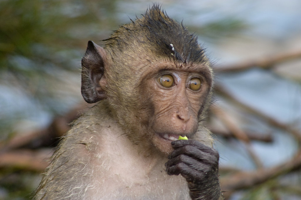 Young (and wet) Macaque