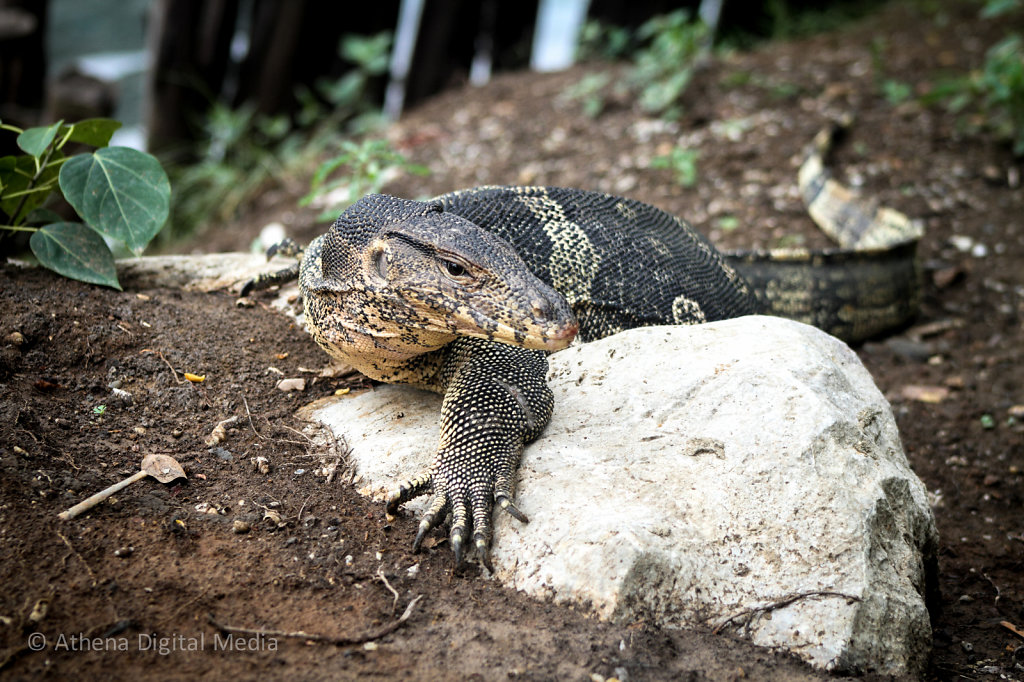 Water Monitor Lizard - Full Frontal