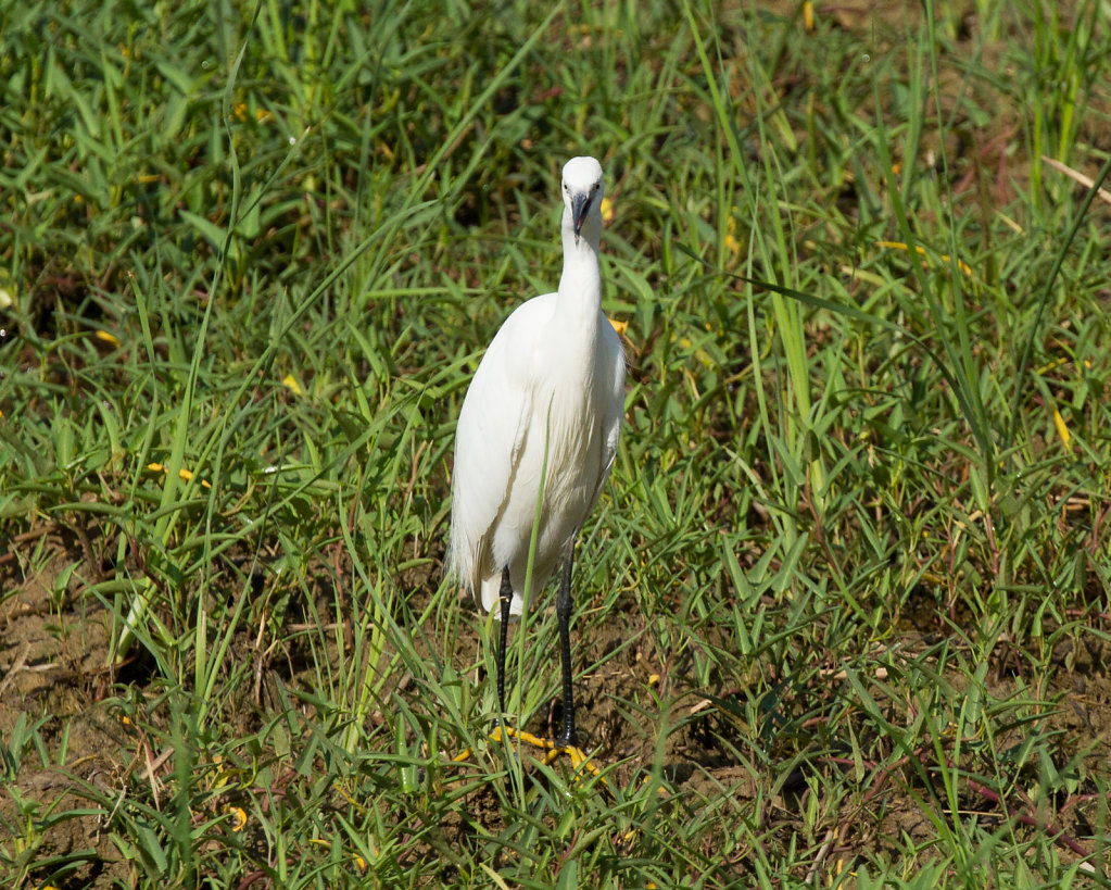 A very welcome Egret