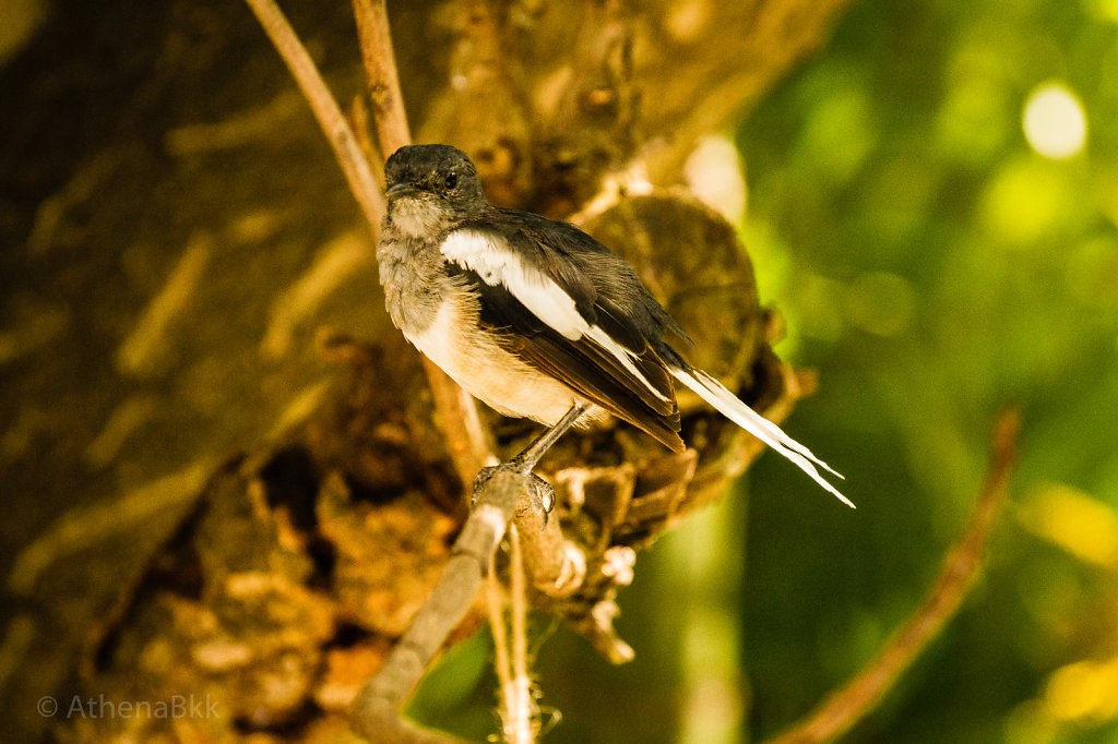 Asian Magpie Robin